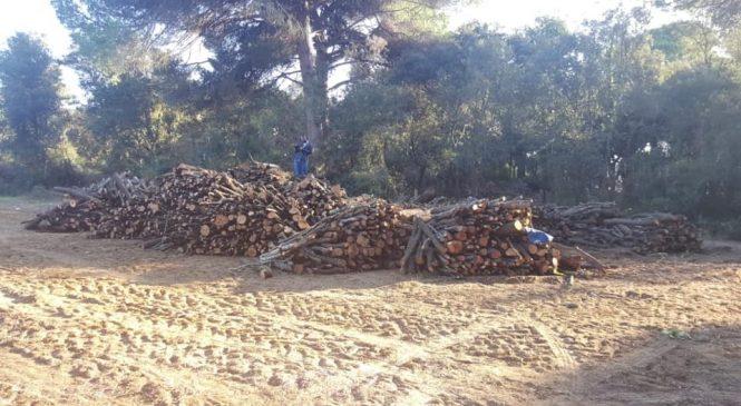 Fare chiarezza su taglio alberi nella Riserva di Ostia